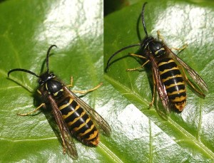 Median Wasp