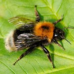 The Tree Bumblebee can be very aggressive
