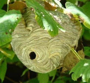 Once the colony has been killed, the nest poses no risk and should stay in place.