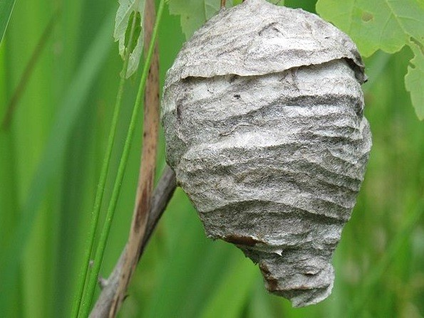 Hornet's nest did not get sexually assaulted (wiki commons)