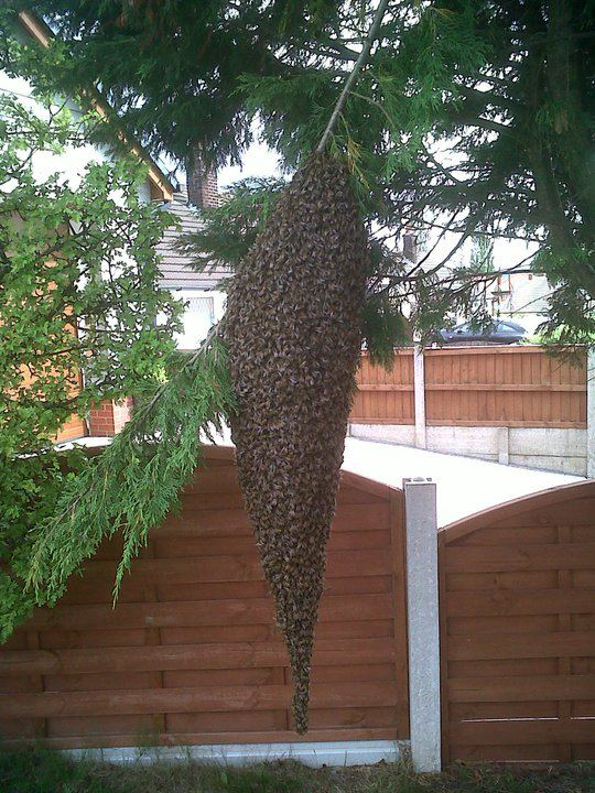 Honey Bee Swarms For Sale